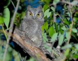 Owl Western Screech D-022.jpg