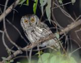 Owl Western Screech D-023.jpg