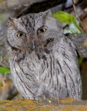 Owl Western Screech D-028.jpg