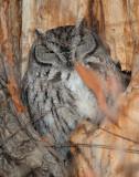 Owl Western Screech D-031.jpg