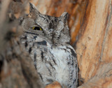 Owl Western Screech D-032.jpg