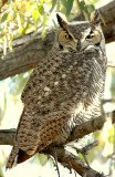 Owl  Great-Horned D-006.jpg