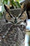Owl  Great-Horned D-007.jpg