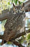 Owl  Great-Horned D-014.jpg
