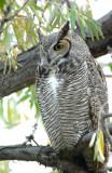 Owl  Great-Horned D-031.jpg