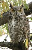 Owl Great Horned S-025.jpg
