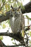 Owl. Great horned D-002.jpg