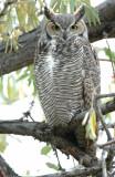 Owl. Great horned D-006.jpg