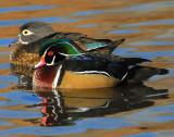 Duck Wood D-004.jpg