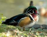 Duck Wood D-003.jpg