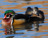 Duck Wood D-007.jpg