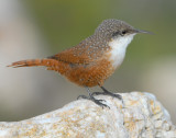 Wren, Canyon