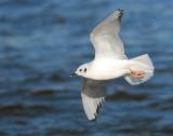 Gull Bonapartes D-006.jpg