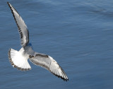 Gull Bonapartes D-001.jpg