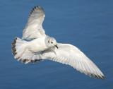 Gull Bonapartes D-022.jpg