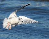 Gull Bonapartes D-020.jpg