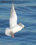 Gull Bonapartes D-016.jpg
