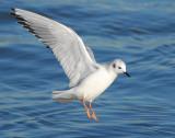 Gull Bonapartes D-019.jpg
