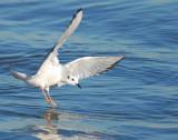 Gull Bonapartes D-012.jpg