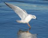 Gull Bonapartes D-021.jpg