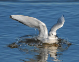 Gull Bonapartes D-009.jpg