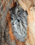 Owl Western Screech D-034.jpg