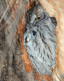 Owl Western Screech D-035.jpg