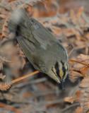 Warbler Worm-eating D-004.jpg