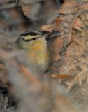 Warbler Worm-eating D-005.jpg
