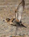 Plover,  Pacific Golden D-097.jpg