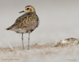 Plover,  Pacific Golden D-092.jpg
