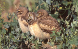 Owl Burrowing S-122.jpg