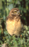 Owl Burrowing S-129.jpg