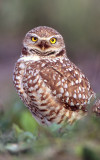 Owl Burrowing S-ZZ2.jpg