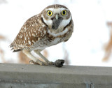 Owl Burrowing D-011 P.jpg