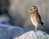 Owl Burrowing D-006.jpg