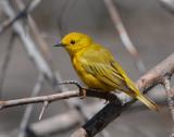 Warbler, Yellow #2
