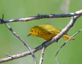 Warbler Yellow D-006.jpg