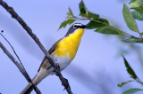Chat Yellow Breasted S-204A.jpg