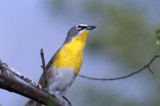 Chat Yellow Breasted S-209.jpg