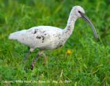 Ibis, (leucistic) White-faced