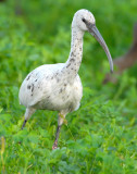 Ibis, (Leucistic) White-faced