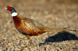 Pheasant Ringneck D-002.jpg