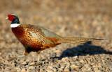 Pheasant Ringneck D-003.jpg