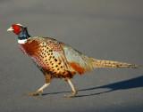 Pheasant Ringneck D-001.jpg