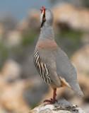 Partridge Chucker D-018.jpg