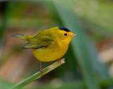 Warbler Wilsons D-004A.jpg