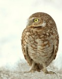 Owl BurrowingD-1-2.jpg