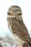 Owl. Burrowing D-2-8.jpg