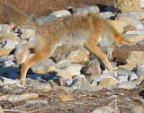Coyote D-011.jpg